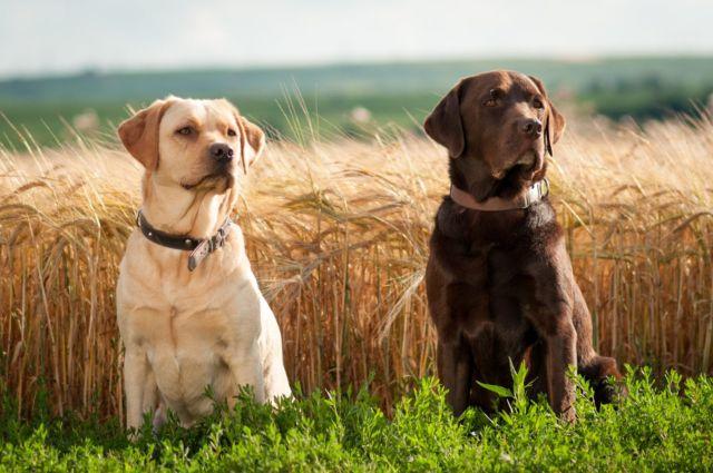 Две собаки у поля пшеницы