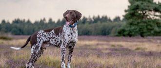 Собак стоит на траве
