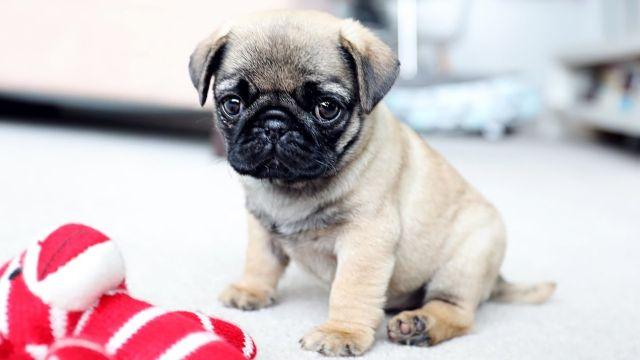маленькая короткошерстная собака