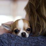 Миниатюрные короткошёрстные собаки: обзор пород