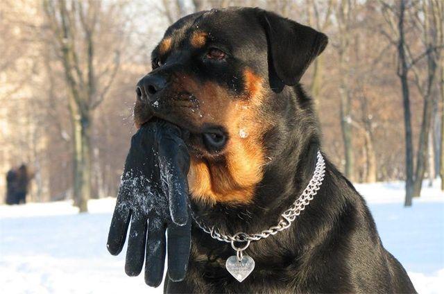 Собака держит перчатку