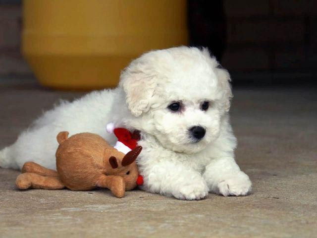 Пес лежит с игрушкой