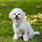 Особенности породы собак бишон фризе