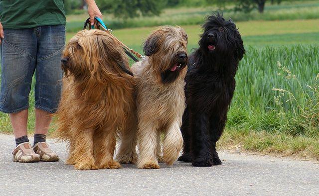 Три собаки на поводке