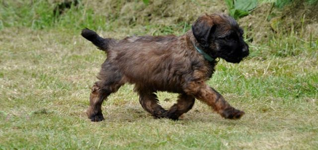 Щенок бежит по траве