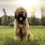 Описание породы собак французский бриар