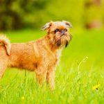 Гриффоны – собаки с большим сердцем