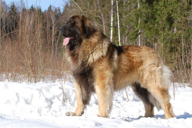 Пес на снегу