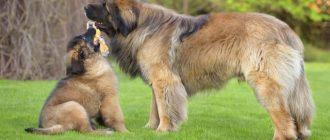 Собака играет с щенком