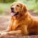Умная собака породы золотистый ретривер