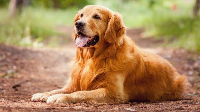 голден ретривер собака