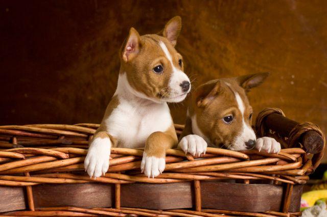 Два щенка в корзине