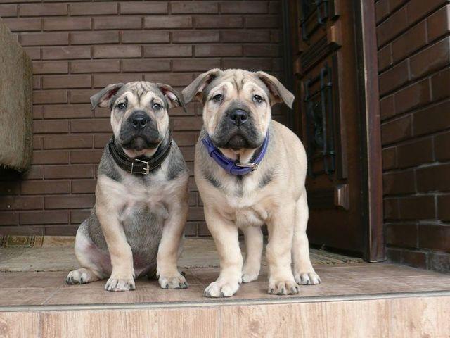Две собаки на крыльце