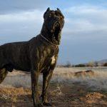 Кане-Корсо – лучший друг и защитник