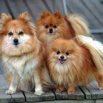 Распространенные породы маленьких домашних собак и рекомендации по их выбору