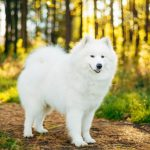 Северные ездовые собаки – самоед