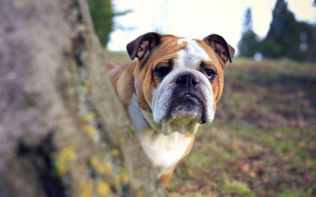 Пес выглядывает из-за дерева