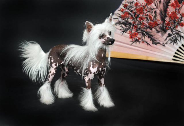Пес с китайским веером