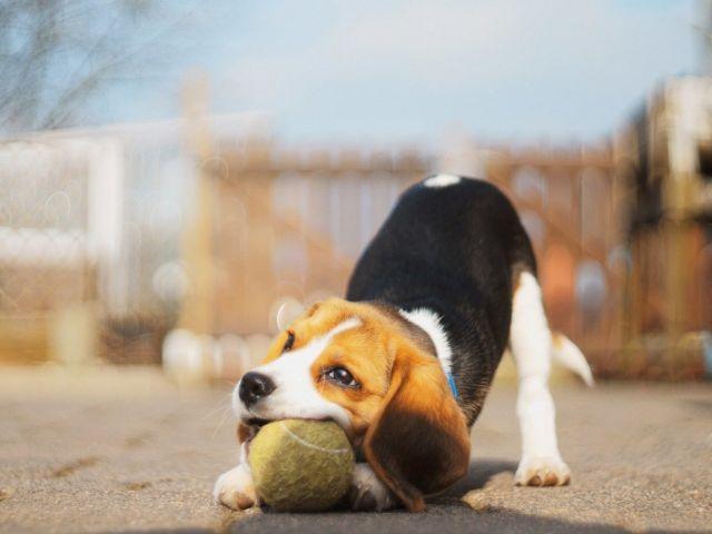 Пес играет с мячиком