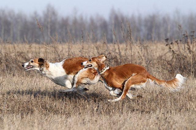 Две собаки бегут по полю