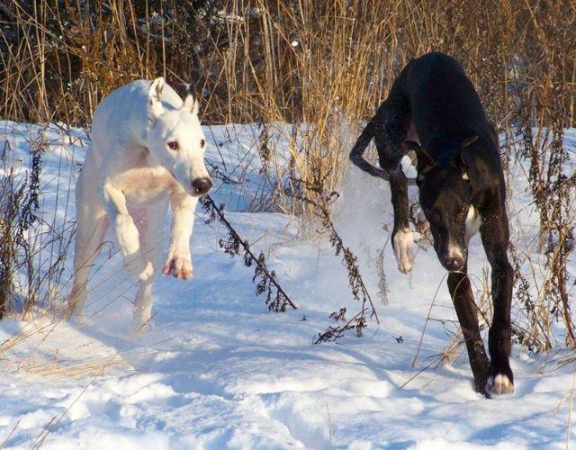 Две собаки прыгают на снегу