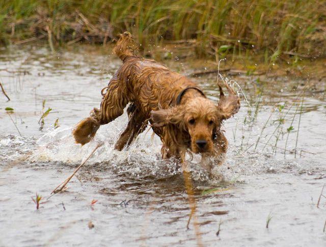 Собак бежит по мелководью