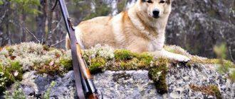 Собака и ружье