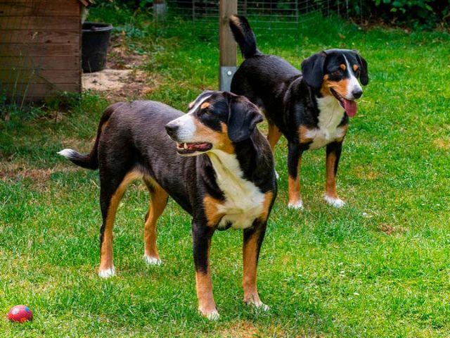 Две собаки возле дома