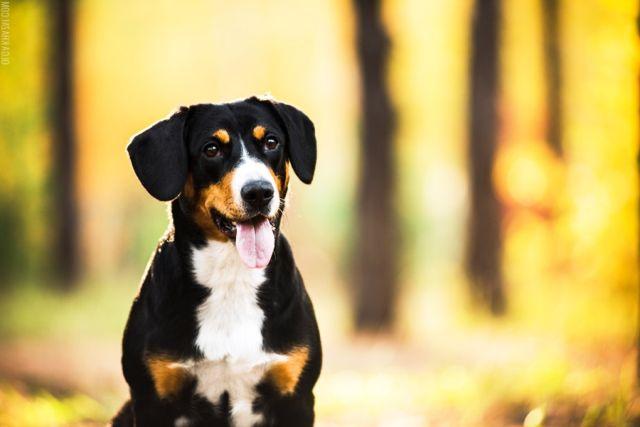 Пес на фоне леса