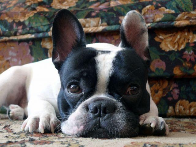 Собака лежит возле дивана