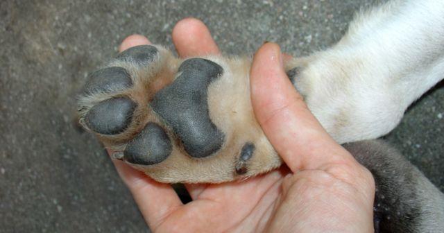 Подушечки лапы у собаки