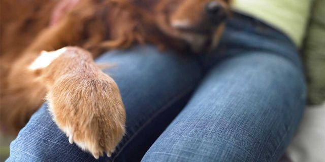 Пес положил лапу на колени