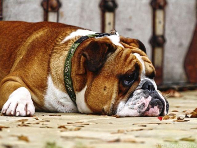 Пес лежит на ковре