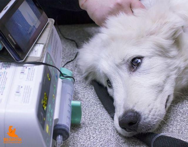 Собака подключенная к аппарату