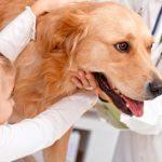 Лечение острого и гнойного эндометрита у собак