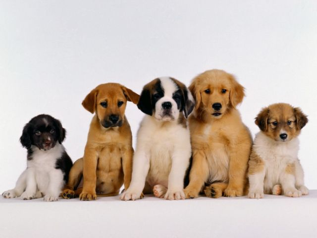 Несколько щенков