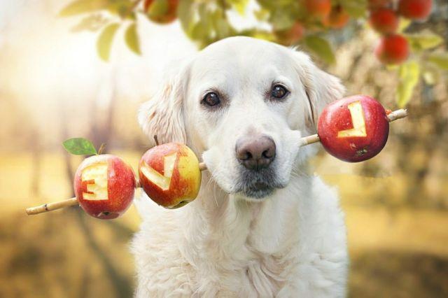 Собака держит палку с яблоками