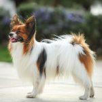 Собаки папильон — карликовые спаниели