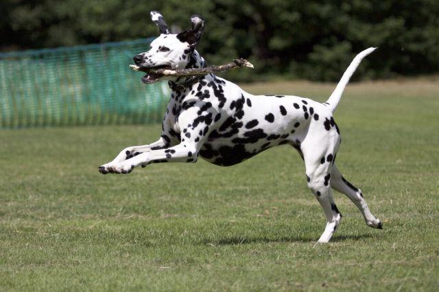 Пес с палкой
