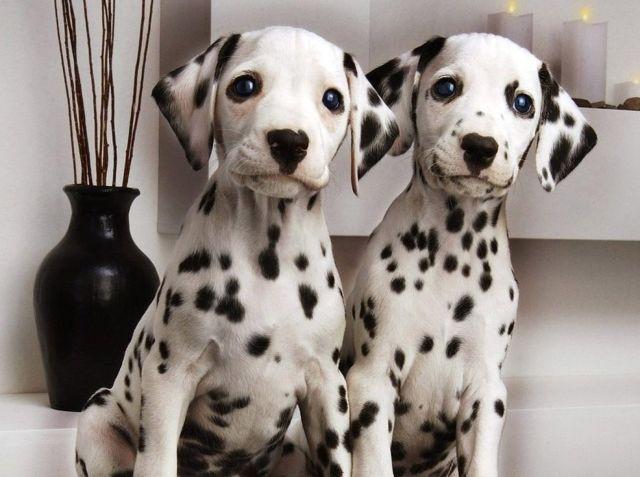 Два щенка в доме