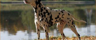 Собака на берегу реки