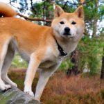 Особенности японской породы собак Сиба ину