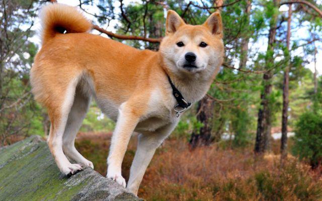 Шиба (сиба) ину: японская собака – происхождение и характер ...