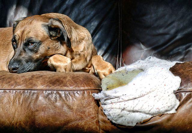 Собака на порваном диване