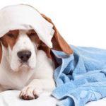Основные признаки лимфаденита у собак