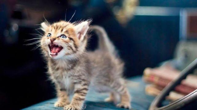 Котенок с открытым ртом