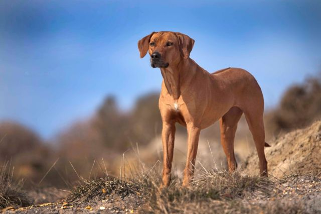 Собака среди сухой травы