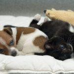 Как вылечить пупочную грыжу у щенков и котят