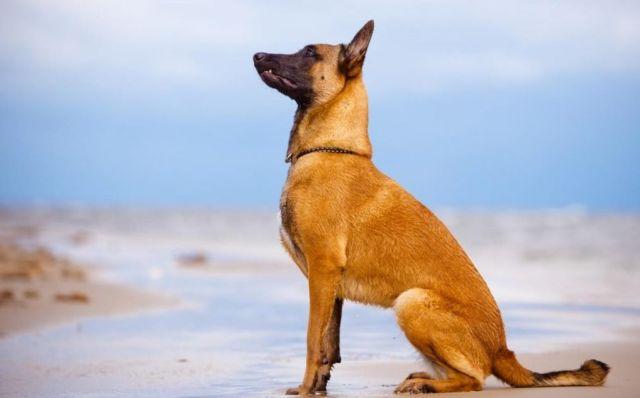 Пес ждет команды