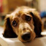 Виды заболеваний слезной железы у собак и их лечение